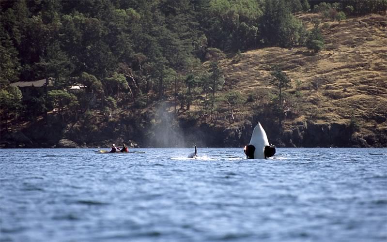 orca-san-juan-island-off-lime-kiln-point.jpg